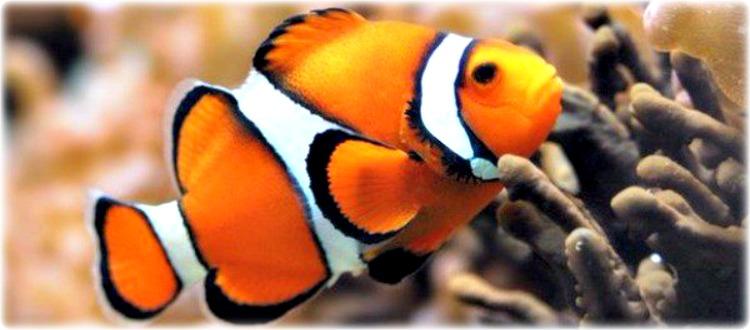 Τι παίζει με το τροπικό ψάρι Νέμο
