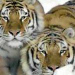 Drone καταγράφει τίγρεις στα χιόνια της Σιβηρίας