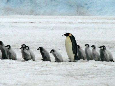 Με αφανισμό κινδυνεύουν οι Αυτοκρατορικοί Πιγκουίνοι